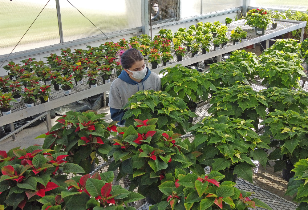 Annual Poinsettia Sale Goes Online this Year
