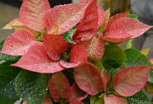 Annual Poinsettia and Holiday Wreath Sale Begins December 2