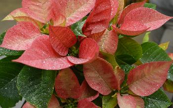Poinsettia with glitter
